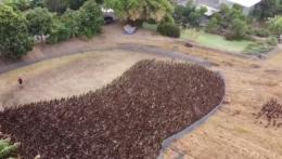 Tisíce kačíc zaplavia ryžové polia v Thajsku