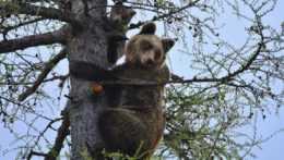 Medvede v tatranských osadách máme pre ich premnoženie, bránia sa vo Vysokých Tatrách