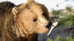 Ani jedného. Poľovníci nedostali povolenie na odstrel medveďa