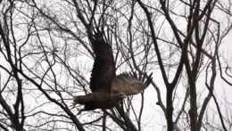 Ochranári budú opäť rátať dravé vtáctvo
