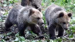 mláďatá medveďa hnedého