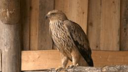 Orol kráľovský takmer neprežil snehovú kalamitu na Zemplíne