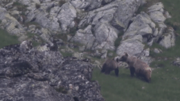 V prírode si treba dávať väčší pozor, začala sa medvedia ruja
