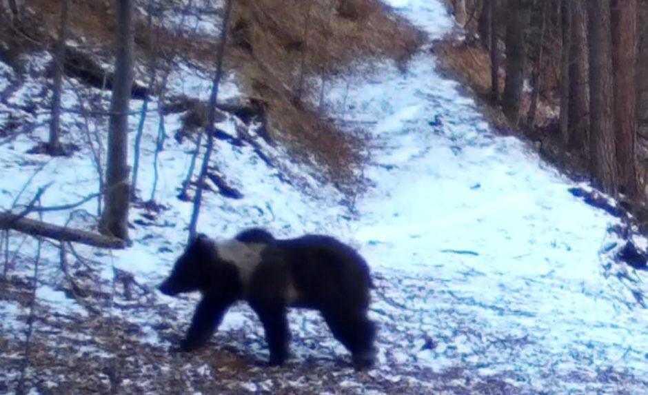 Slovenský unikát. V raji pozorujú medveďa, ktorý pripomína pandu