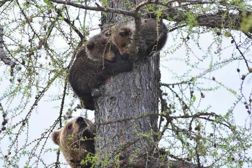 Ochranári budú monitorovať mláďatá, ktoré ostali po usmrtenej medvedici