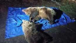 Postup zásahového tímu pre medveďa bol neštandardný, hovorí šéf Štátnych lesov TANAPu
