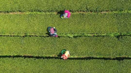 Klimatická zmena ohrozuje pestovanie čaju a milióny pracovných miest v Keni