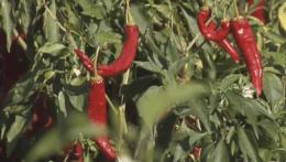 Žitavskej paprike hrozí zánik. Jej pestovateľov je čoraz menej