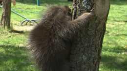 V košickej ZOO sa narodilo mláďa urzona stromového