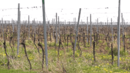 V Skalici vysadili mestský vinohrad. Pribudlo v ňom viac ako 100 000 sadeníc
