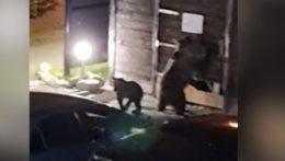 V rámci územia Vysokých Tatier presťahujú ďalšiu medvediu rodinu