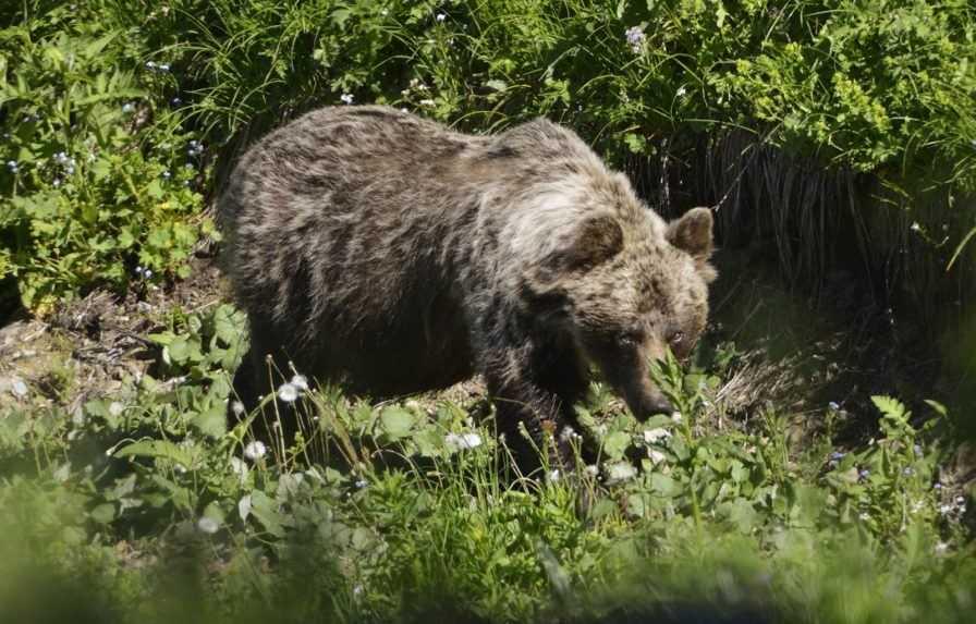 Smrť muža na Liptove nastala po útoku medveďa, potvrdila pitva