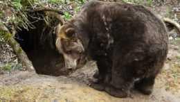 Dospelý jedinec medveďa hnedého.