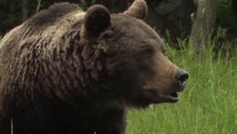 Medveď hnedý na lúke.