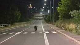 Medveď na ceste v Žiari nad Hronom.