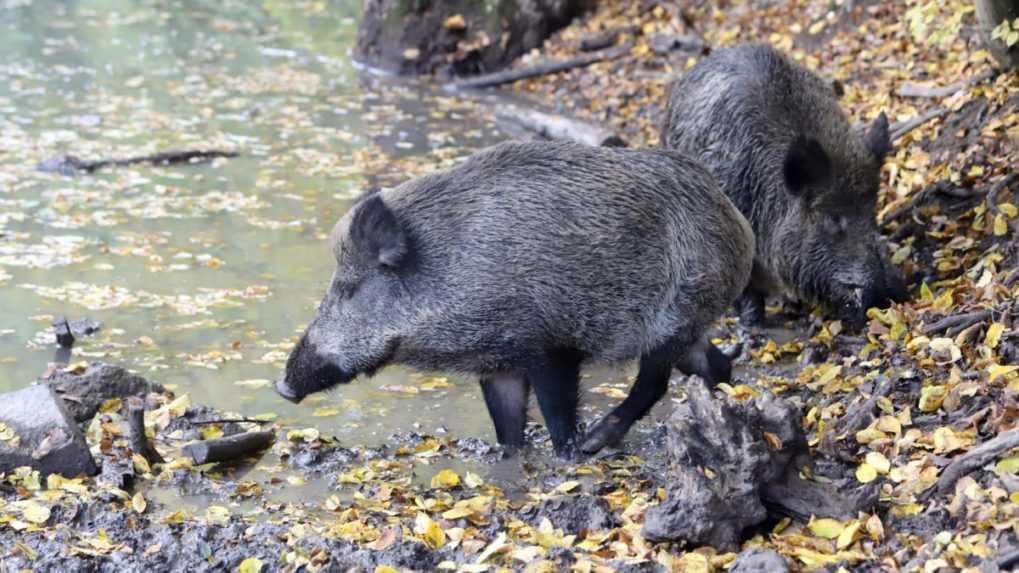 Pre africký mor ošípaných chcú odstreliť 100 000 diviakov, mäso sa má objaviť v obchodoch