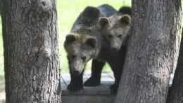 Na ilustračnej snímke dva medvede hnedé.