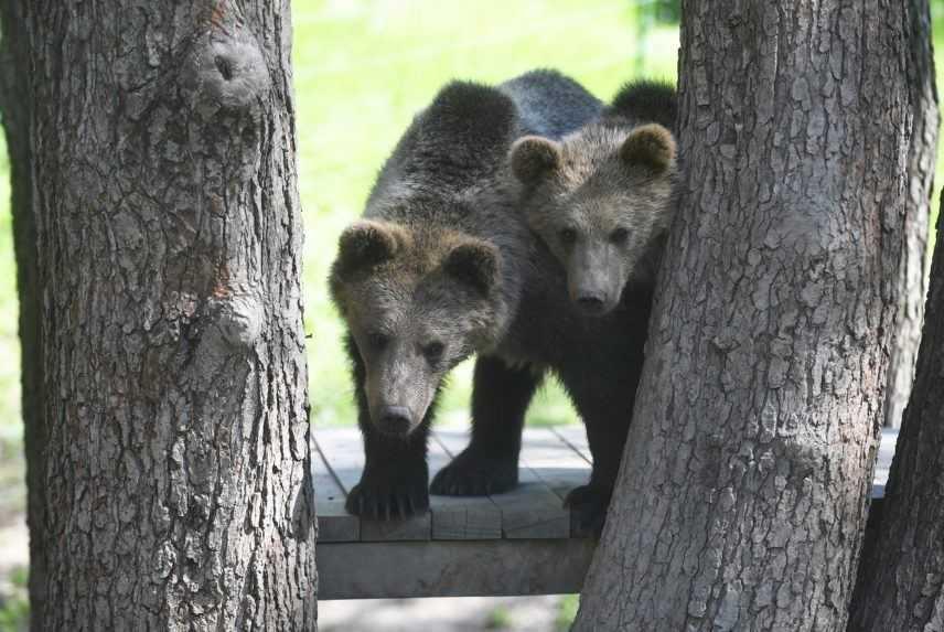 Problémovú medvedicu z Hrebienka uspali a s mladými premiestnili do divokej prírody