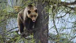 Medvedica na strome
