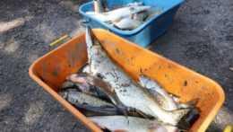 uhynuté ryby