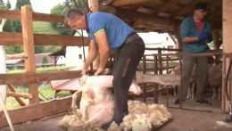 Strihanie oviec.