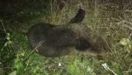 uhynutý medveď