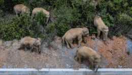 stádo slonov