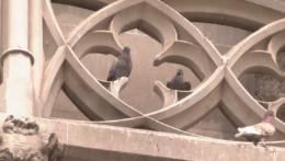 holuby na streche Dómu svätej Alžbety v Košiciach