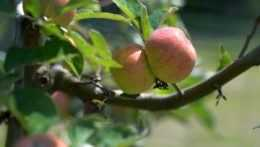 jabĺčka na strome
