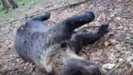 Pribúdajú prípady zastrelených medveďov. Pytliakom ale nejde o trofej