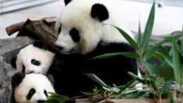 Panda veľká