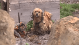 týraný pes