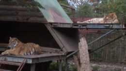 Chov tigrov