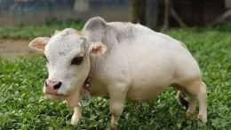 Krava Rání