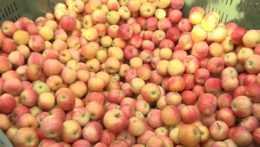 Úroda jabĺk