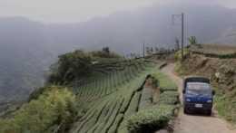 čajová plantáž